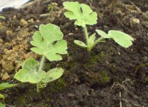 Выращивание арбузов. Всходы